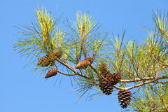 Branch of pine tree with cones. Above blue clear sky Stock Image