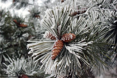 Branch of pine tree with cones in winter. Green pine needles and cones covered with snow Royalty Free Stock Photos