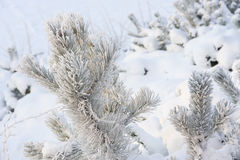 Branch of pine tree covered with snow Stock Photo