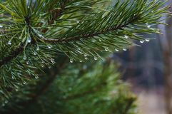 Branch of a pine tree with drops of water in a row. stock photography