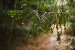 Branch of a pine tree with drops of water stock image