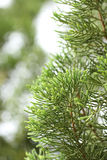 Branch of pine tree Royalty Free Stock Image