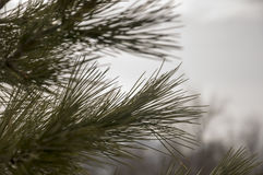Branch of pine-tree with fir-needles green color. Early spring Stock Photography