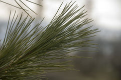 Branch of pine-tree with fir-needles green color. Early spring Stock Photo