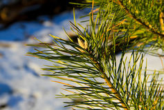 Branch of the pine tree Stock Images
