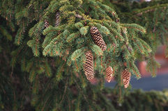 Branch of pine tree. Branch of a pine tree with a lot of pine apples Royalty Free Stock Photos