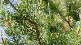 Branch of Pine Tree with needles and Cone Royalty Free Stock Images