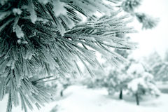 A branch of pine tree needles leafs frozen close up Stock Photo