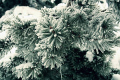 A branch of pine tree needles leafs frozen close up Stock Photography