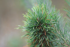 Branch of Pine Tree with needles and Pine Cone Royalty Free Stock Photography