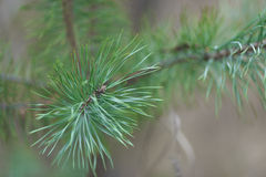 Branch of Pine Tree with needles and Pine Cone Stock Images