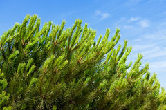 The branch of pine tree over blue sky Stock Photo