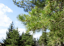 Branch of Pine Tree(Pinus Sylvestris). Branch of Pine Tree (Pinus Sylvestris),Bright View of the Needles of a Forest Green Pine Twig Stock Photography