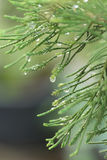 Branch of pine tree with raindrops hung on needles Stock Image