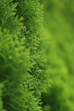 Branch of pine tree, selective focus with blurred green background Stock Images