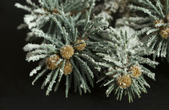 Branch of pine tree with snow Royalty Free Stock Photo
