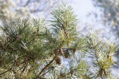 Branch of pine tree at sunny winter day Royalty Free Stock Photo