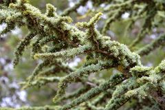 Branch of a pine tree. A branch of a pine tree in Troodos mountain Royalty Free Stock Photography
