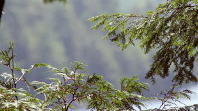 Branch of a pine tree waving in the breeze in a northern forest. Closeup stock video footage