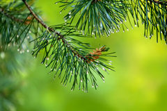 Branch of pine-tree with young cone and rain drops on needles Stock Image