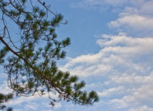 Branch pine trees and Sky Stock Photography