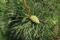 Branch of pine with two green cones Royalty Free Stock Photo