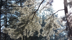 Branch of pine under a bright winter sun. On the forest background Stock Photography
