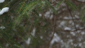 A branch of pine under the snow. Pine branch with snow swinging from the winter wind stock video footage