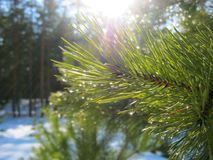 A branch of pine in water drops illuminated by the sun. Awakening of nature, March stock images