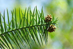 Branch of pinetree Stock Photos