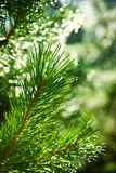 Branch of pinetree Royalty Free Stock Photography