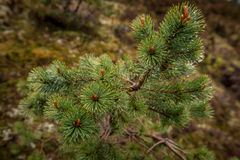 Branch of pinetree. A close up of a branch of the pinetree with rain drops Stock Images