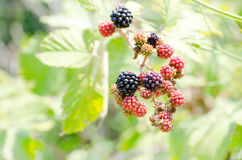 Branch with pink blackberries Stock Image