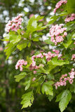 Branch with pink blossom. Some peach blossoms on the branch during spring blooming Stock Images