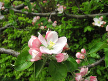 The branch with pink blossoms. Spring Royalty Free Stock Photography