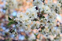 Flowering branch cherry on a background of royalty free stock photography