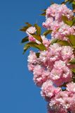 Branch of pink cherry blossoms against the blue sky. Flowering garden. Spring  bloom stock photography