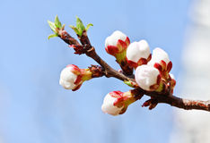 Branch with pink cherry buds in spring Royalty Free Stock Photography