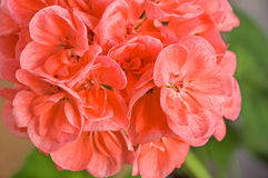 Branch of pink cranesbill flowers pelargonium, geranium, malva Royalty Free Stock Photos