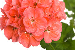 Branch of pink cranesbill (pelargonium, geranium) flowers on whi Royalty Free Stock Images