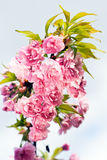 Branch with pink flowers Stock Photography