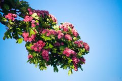 Branch with pink flowers. Pink flowers on a branch  on blie Royalty Free Stock Image