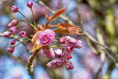 Branch of pink flowers. Closeup of Branch of pink flowers on the beutiful warm spring day Stock Photography