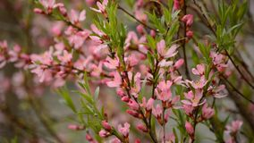 Branch pink flowers stock footage