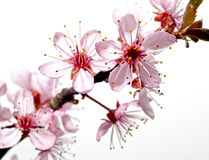 Blossoming tree branch with pink flowers Stock Photos