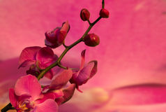 Branch with pink flowers orchid. On a  pink  background Royalty Free Stock Photography