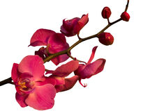 Branch with flowers orchid on a white background. Branch with pink flowers orchid on a white background Stock Image