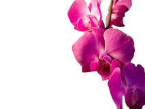 Branch with pink flowers orchid. On a white background Royalty Free Stock Photo
