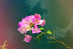 Branch of pink flowers. Pink tropical flowers. Branch of tropical flowers Stock Photo
