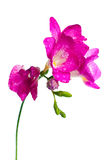 Branch of pink freesia Royalty Free Stock Photography